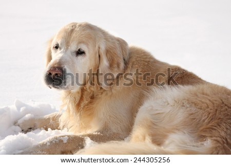 Beautiful big golden retriever dog standing on snow. winter day - stock photo
