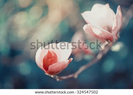 Beautiful big magnolia flowers in spring garden, closeup - stock photo