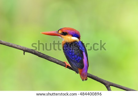 Beautiful bird Black backed Kingfisher or Oriental Dwarf Kingfisher perched on branch, Ceyx erithacus