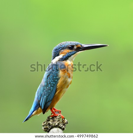 Beautiful bird Common kingfisher or Eurasian kingfisher perched on bamboo wood and lifting his tail (Alcedo atthis)