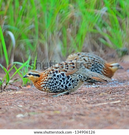 Beautiful bird, couple of Mountain Bamboo Partridge (Bambusicola fytchii), female standing in front of male in this picture