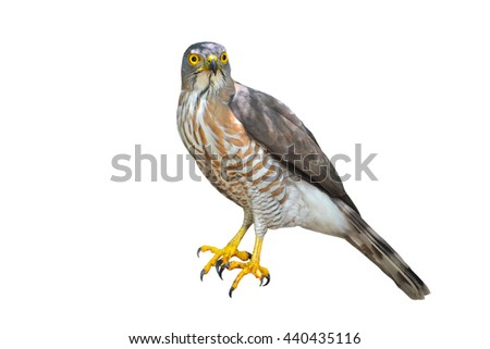 Beautiful bird, crested goshawk (Accipiter trivirgatus) isolated on white background, take of Thailand - stock photo