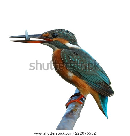 Beautiful bird female Common Kingfisher with small fish isolated on white background.(Alcedo atthis) - stock photo