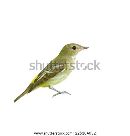 Beautiful bird, female Yellow-rumped Flycatcher isolated on white background.(Ficedula zanthopygia) - stock photo