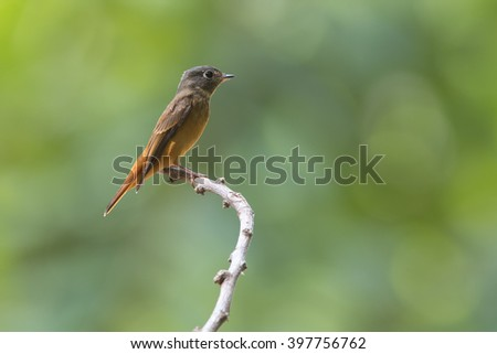 Beautiful Bird Ferruginous Flycatcher (Muscicapa ferruginea)