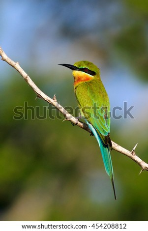 Beautiful bird in the nature tree branch habitat. Blue-tailed Bee-eater Merops philippinus perching on twig, green and blue background, near to Yala National Park, Sri Lanka. Wildlife scene from Asia. - stock photo