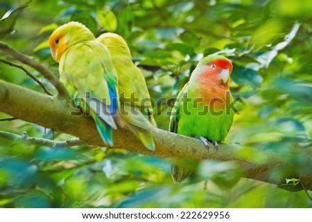 Beautiful bird, Love Bird, standing on a branch - stock photo