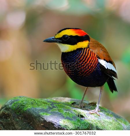 Beautiful bird male Banded Pitta  ,Malayan Banded Pitta (Pitta guajana) - stock photo