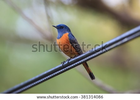 Beautiful bird, rare item in Thailand Blue-fronted Redstart.