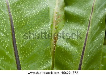 beautiful Bird's nest fern leave close up, Water Drops on Fern - stock photo