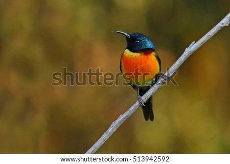 Beautiful Bird,Sunbird,Green-tailed Sunbird, on Doi Inthanon, Thailand