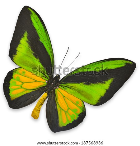 Beautiful Black and Green butterfly (Ornithoptera goliath) isolated on white background - stock photo