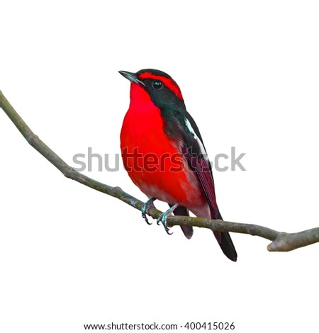 Beautiful black and red bird, perching on the branch, white background. - stock photo