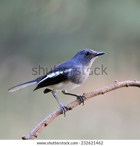 Beautiful black and white bird, female Oriental Magpie Robin (Copsychus saularis), standing on a branch, side profile