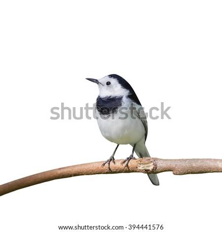 Beautiful black and white bird, Male of White Wagtail (Motacilla alba) isolate on white background. - stock photo
