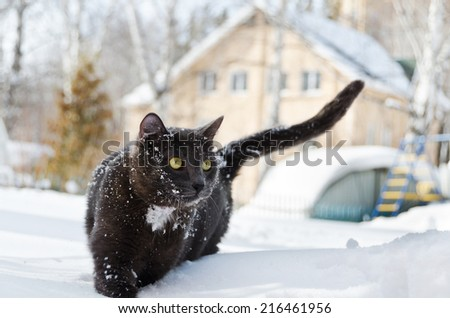 beautiful black and white cat walks on snow in the yard of the house - stock photo