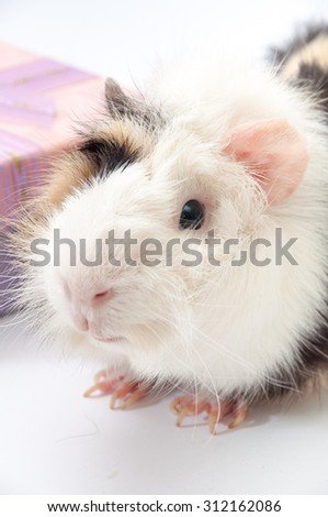 Beautiful black and white guinea pig on a white background.