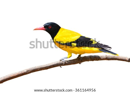 Beautiful black and yellow bird (Black-hooded Oriole, Oriolus xanthornus) perching on a branch isolated on white background