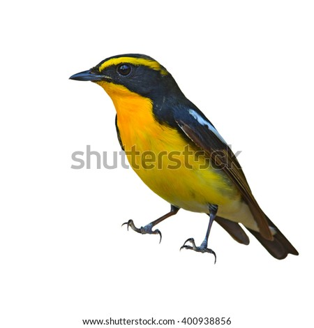 Beautiful black and yellow bird, Male of Narcissus Flycatcher (ficedula zanthopygia) breast profile, white background. - stock photo