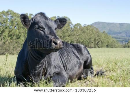 Beautiful Black Angus - stock photo