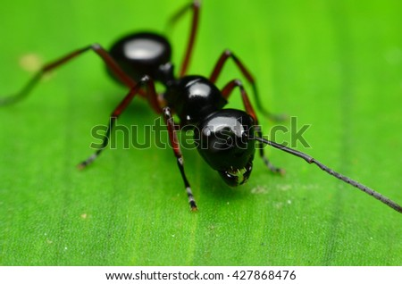 beautiful Black Ant on green leaf