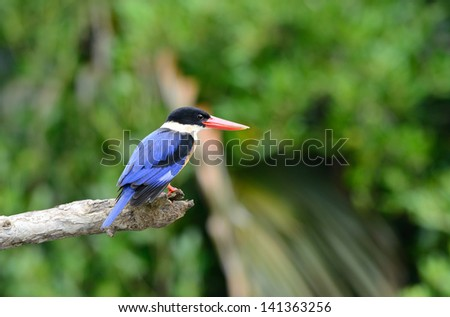 beautiful Black-capped Kingfisher (Halcyon pileata) possing on branch