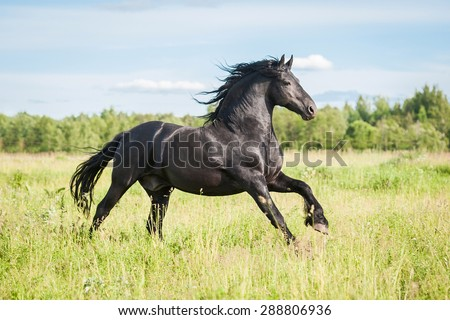 Beautiful black friesian stallion running on the field in summer