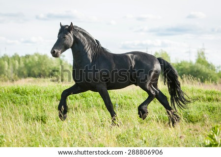 Beautiful black friesian stallion running trot in summer