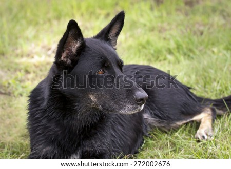 Beautiful black German shepherd dog lying in the grass - stock photo