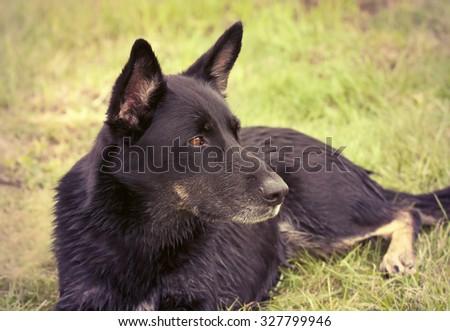 Beautiful black German shepherd dog lying in the grass - stock photo