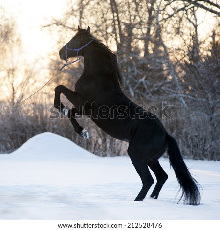 Beautiful black horse rearing up on the meadow in winter - stock photo