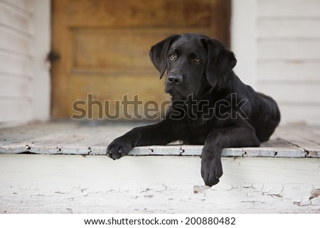 Beautiful black lab puppy lying on the front porch. - stock photo