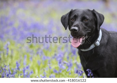 beautiful black labrador in a field of bluebells - stock photo