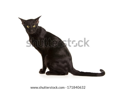 Beautiful black oriental cat isolated over black background - stock photo