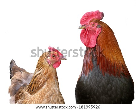Beautiful black-red cock with a red crest and brown chicken, hen on white, it is isolated - stock photo