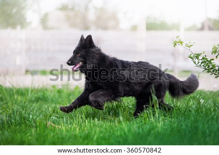 Beautiful black Swiss Shepherd runs gallop on the field in the tall grass on a light blurred background - stock photo