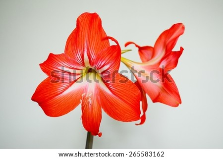 Beautiful bloom of red amaryllis flower. Lithuania. - stock photo