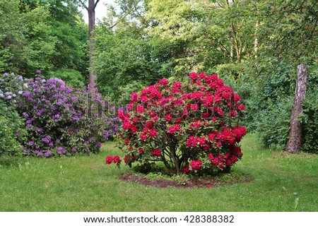 Beautiful blooming azalea, large shrubs in the park - Rhododendron (Rhododendron) - stock photo