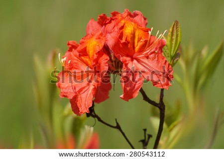 Beautiful blooming azaleas and rhododendrons in the garden - red azalea - stock photo