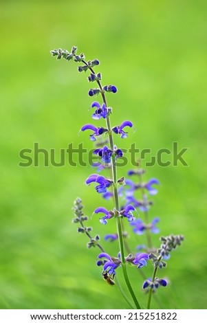 Beautiful blooming blue herb in a clean green natural background. (Salvia pratensis)