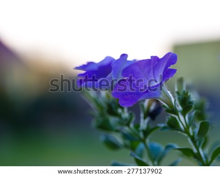 Beautiful blooming blue petunia flower. Close up of petunia in evening light. - stock photo