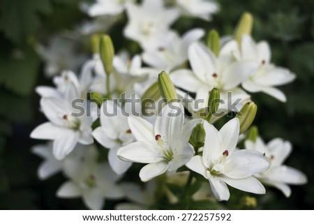 Beautiful blooming bright Lilies many, beautiful background , fauna , closeup - stock photo