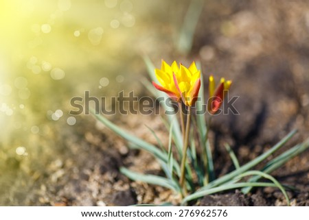 beautiful blooming crocuses outdoors on a sunny day - stock photo