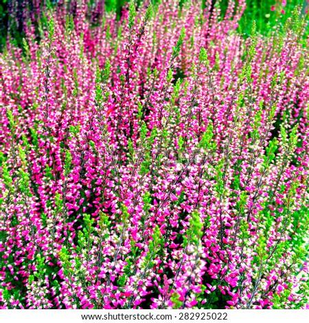 Beautiful blooming heather. Scandinavian nature in late summer. - stock photo