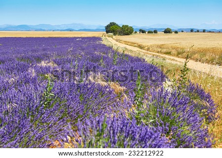 Beautiful blooming lavender field on the Valensole Plateau in Provence, France - stock photo