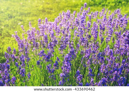 Beautiful blooming lavender patch in the garden - stock photo