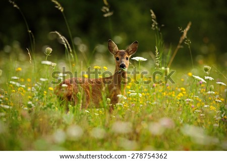 Beautiful blooming meadow with many white and yellow flowers and animal, Roe deer, Capreolus capreolus, chewing green leaves - stock photo