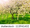 Beautiful blooming of apple trees over blue sky in spring park - stock photo