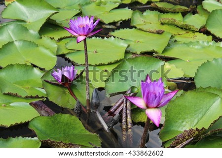 Beautiful blooming of purple water lilies - stock photo