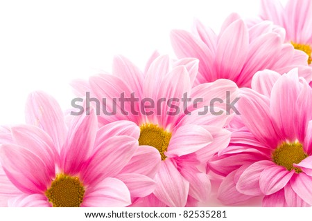 Beautiful blooming pink flowers on a white background - stock photo